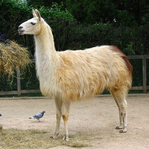 Лама животное. описание и образ жизни ламы