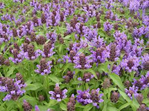 Черноголовка (растение) — википедия. что такое черноголовка (растение)