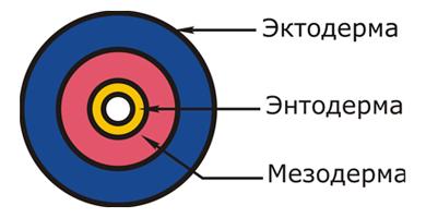 Мезодерма - mesoderm