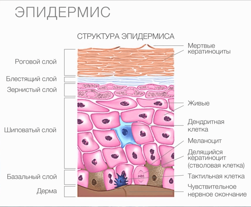 Строение кожи. дерма