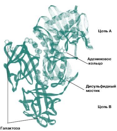 Рицин — википедия. что такое рицин