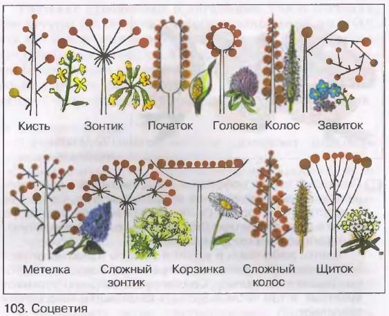 Соцветие – таблица, что такое соцветие в биологии (6 класс) - помощник для школьников спринт-олимпик.ру