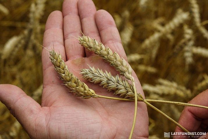 Пшеница - все о растении - описание, свойства, виды