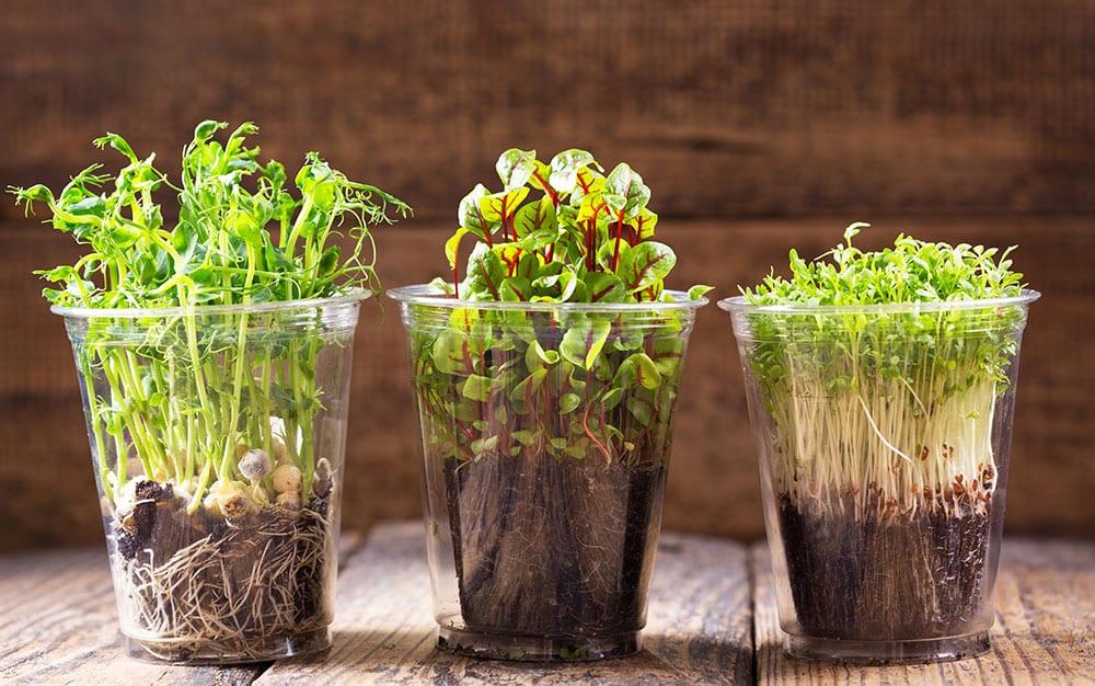 Как вырастить микрозелень в домашних условиях