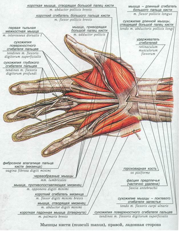 Запястье и кисть руки: где они находятся, функции и строение