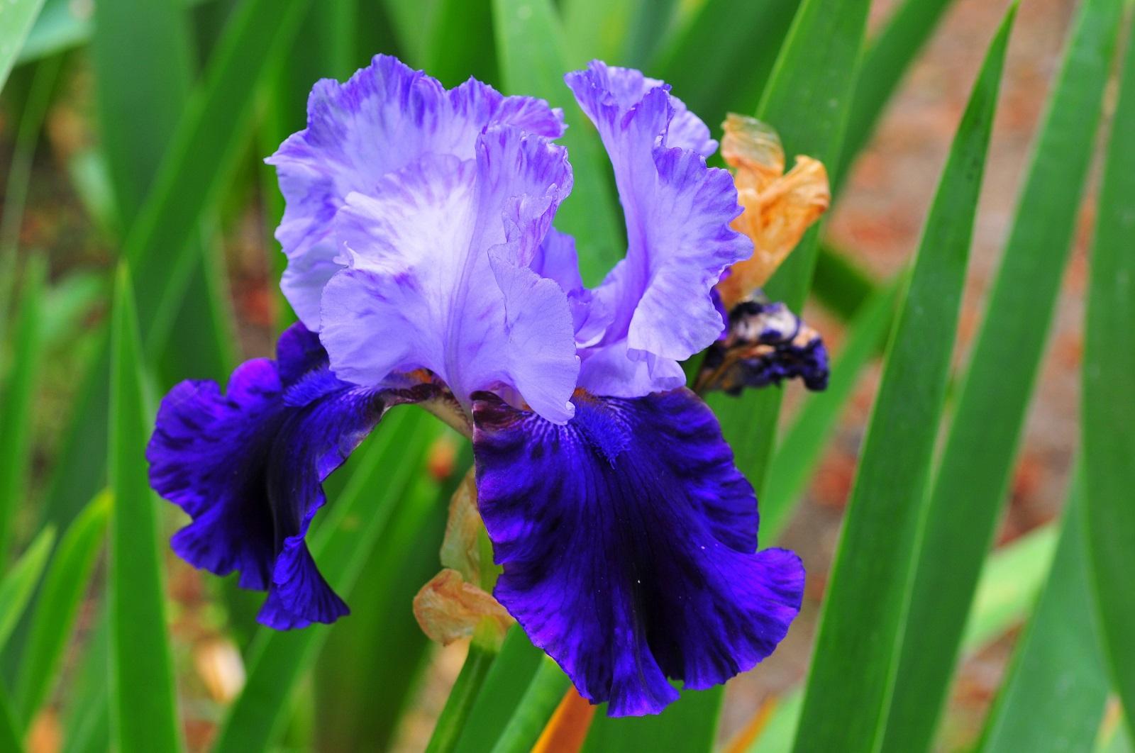 Ирис (растение) — википедия. что такое ирис (растение)