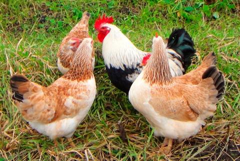 Курица - все о курах, это птица или животное, как выглядит и сколько живут в домашних условиях