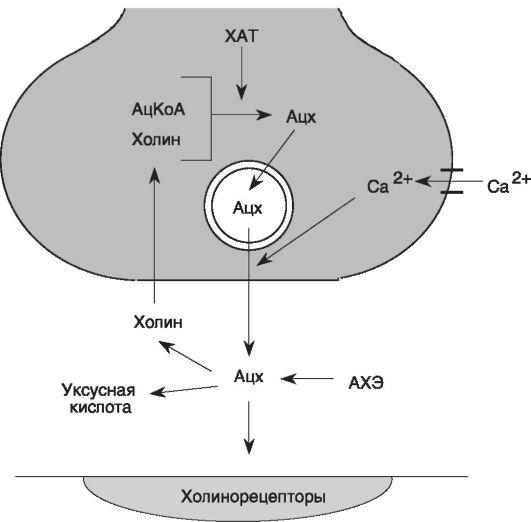 Нейромедиатор ацетилхолин в организме. его избыток и недостаток, история открытия