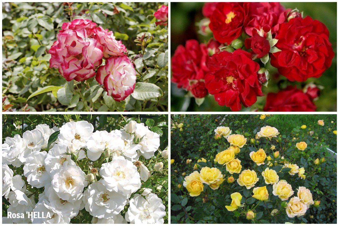 Роза флорибунда — ботаничка.ru