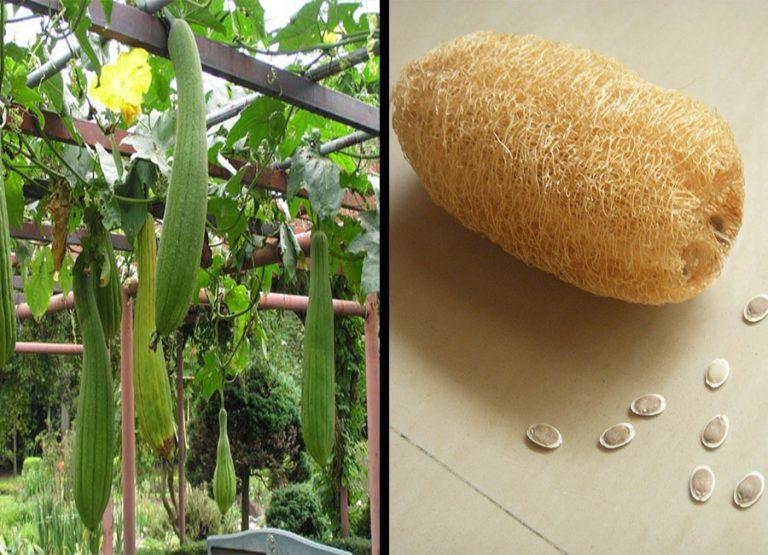 Растение люффа (фото) - выращивание на мочалку | сайт о саде, даче и комнатных растениях.