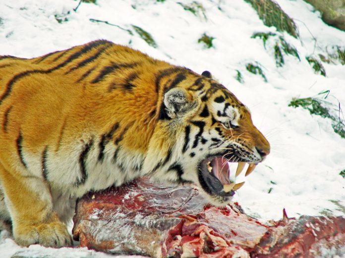 Интересные факты о тиграх | виды и цветовые вариации тигров