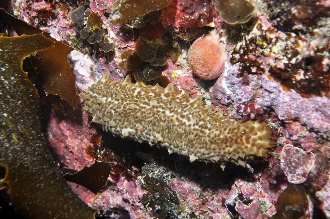 Морские огурцы: лечебные свойства, рецепты, фото :: syl.ru