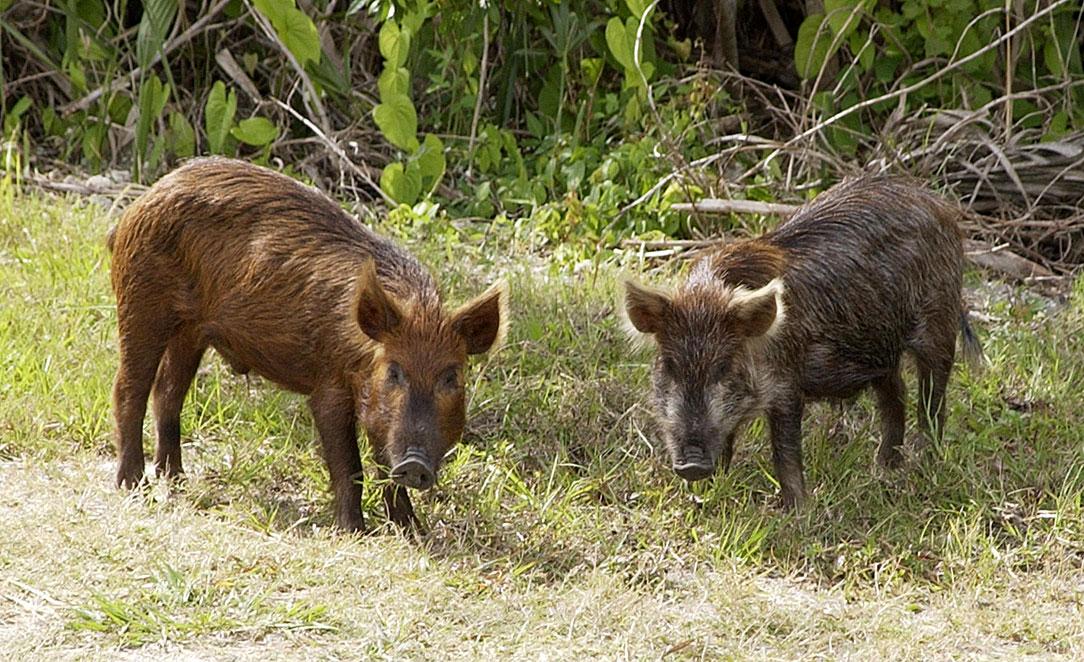 Свиньи — циклопедия