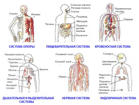 Система органов человека википедия