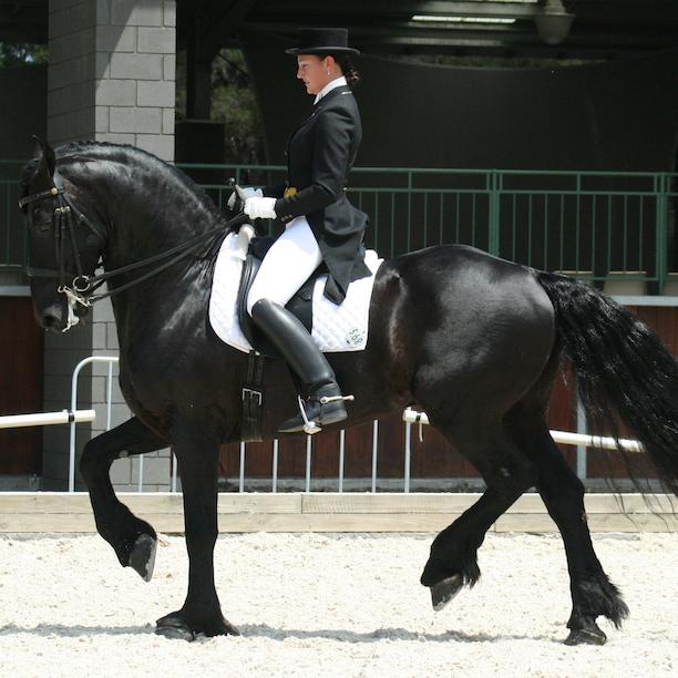 Фризские лошади – друзья на всю жизнь