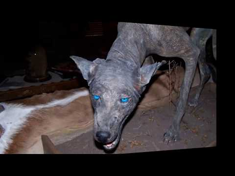 Чупакабра: что это за зверь и как выглядит, фото