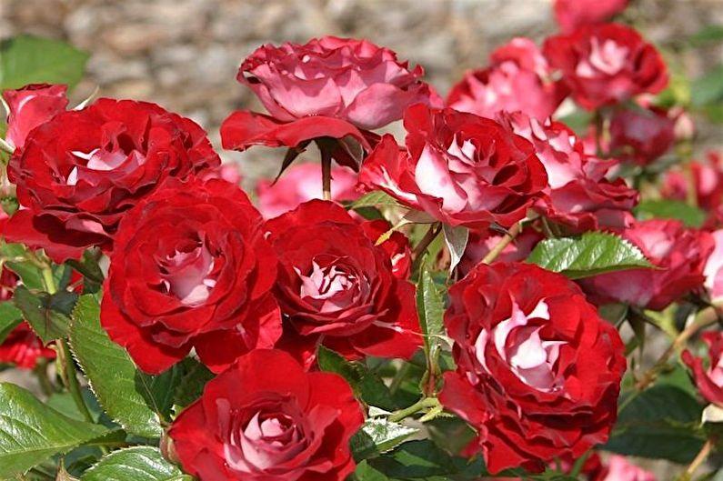 Розы флорибунда: сорта, посадка, выращивание и уход
