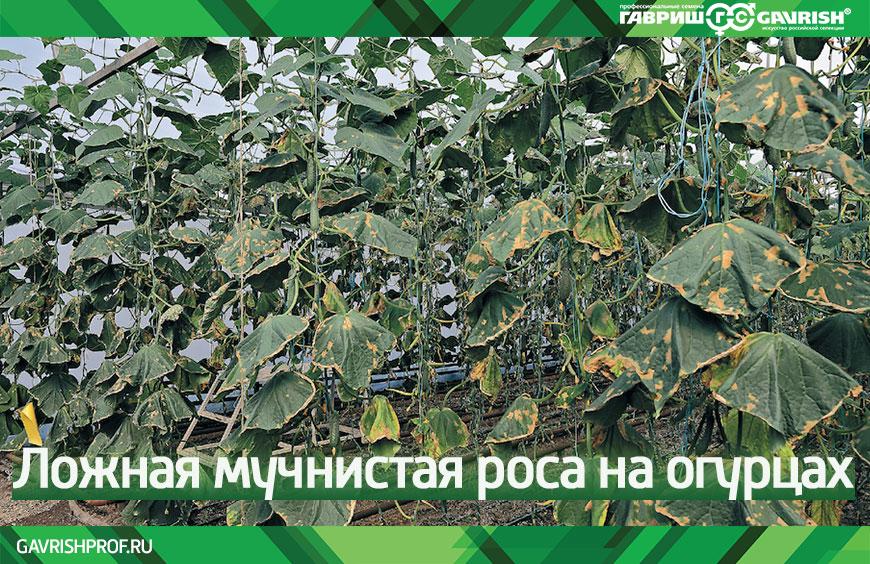 Как избавиться от мучнистой росы? методы борьбы, средства. на растениях. фото — ботаничка.ru