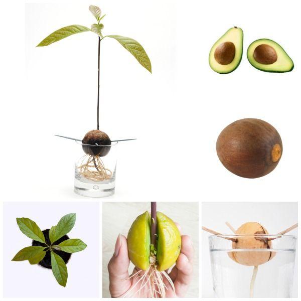 Авокадо: полезные свойства и вред, калорийность, как выбрать, как почистить, состав и виды