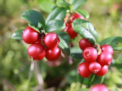 7 полезных свойств клюквы для здоровья, а также противопоказания