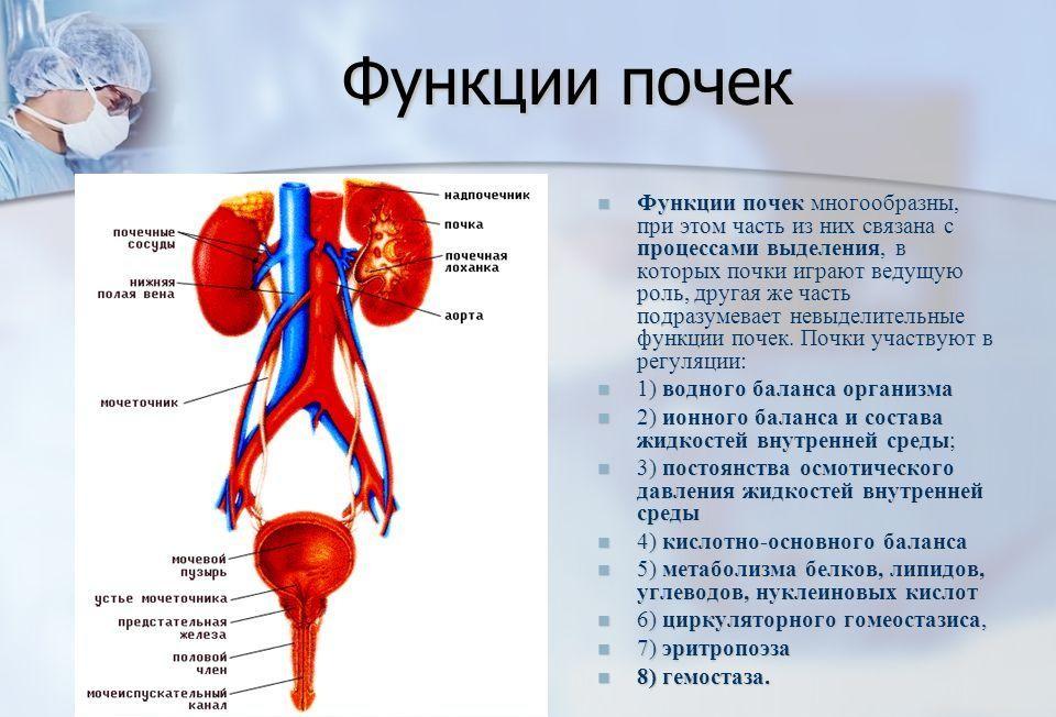Расположение почек: строение и роль в системе органов