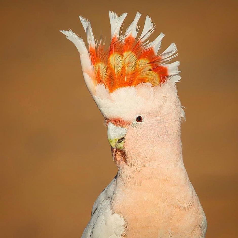 Попугай какаду - описание и отзывы