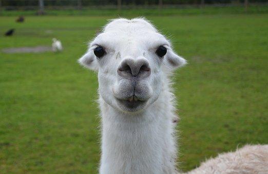 Лама (животное) — википедия. что такое лама (животное)