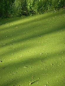 Ряска, фото, описание, условия выращивания, применение, размножение, уход