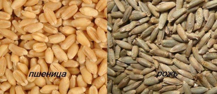 Твердая пшеница (дурум): что это такое, чем отличается от мягких сортов, как выращивается и в каких сферах её используют