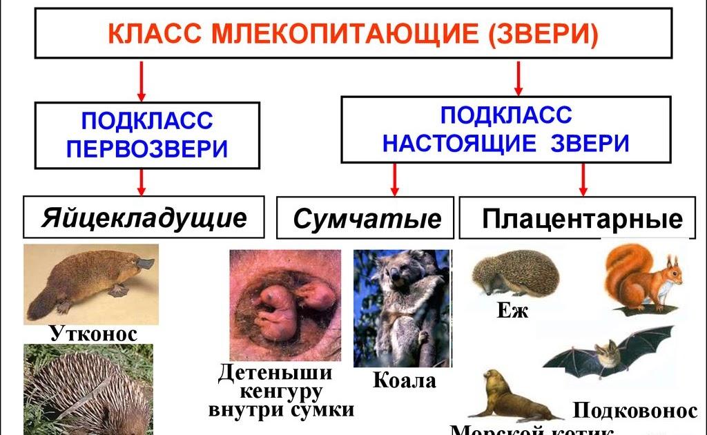 Яйцекладущие млекопитающие