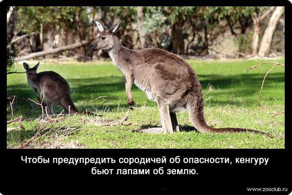 Кенгуру - kangaroo