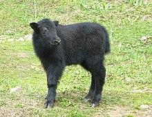 Як - животное, живущее в горах. описание, образ жизни, фото
