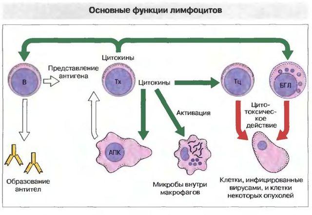 Лимфоциты повышены у женщины: причины, опасность, симптомами каких заболеваний является