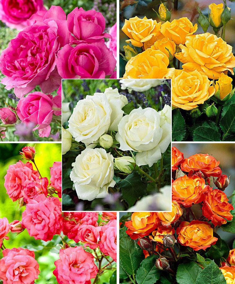 Роза спрей – использование в ландшафтном дизайне, особенности выращивания в домашних условиях