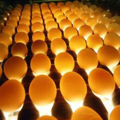 Что такое овоскоп и как применяется при инкубации яиц и у волнистых попугаев