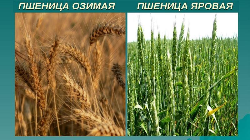 Пшеница, польза и применение