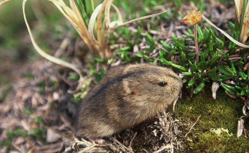 Лемминг животное. образ жизни и среда обитания лемминга | животный мир