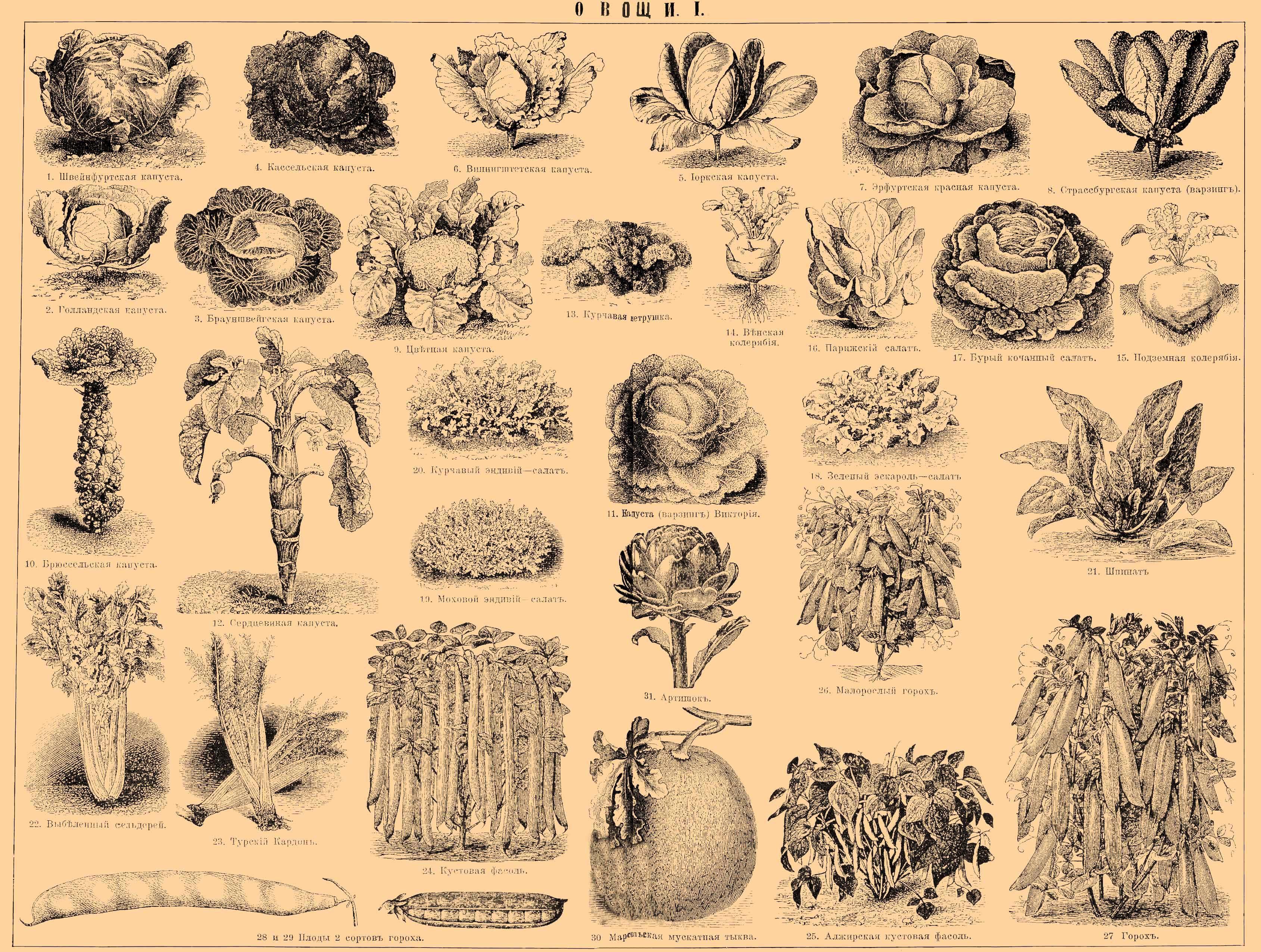 Корнеплоды: растения, виды, функции, уборка и хранение урожая