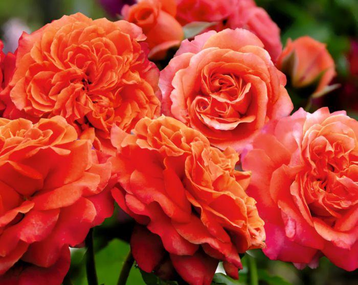 """Розы """"шрабы"""": что это такое, фото и описание"""