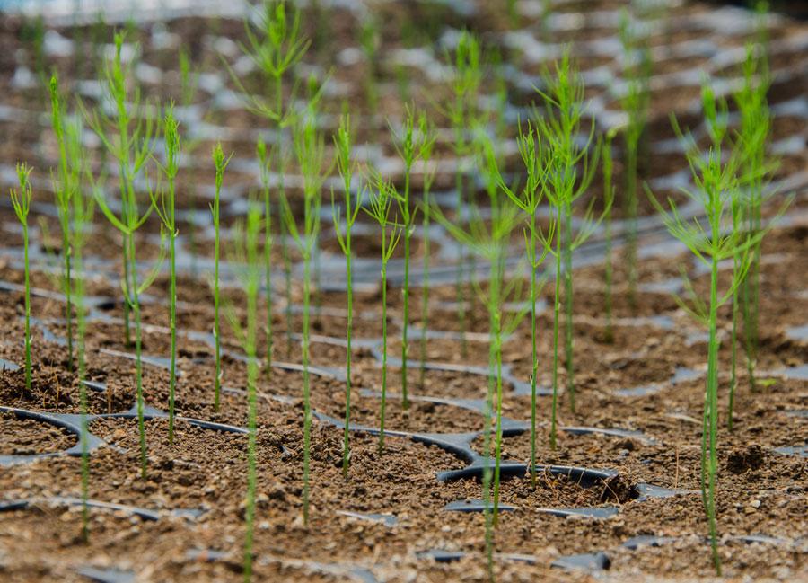 Выращивание cпаржи лекарственной в открытом грунте, фото растения