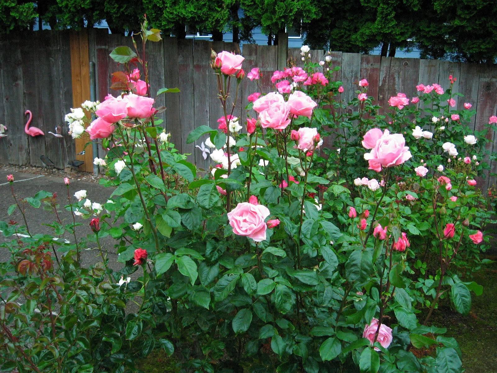 Роза флорибунда
