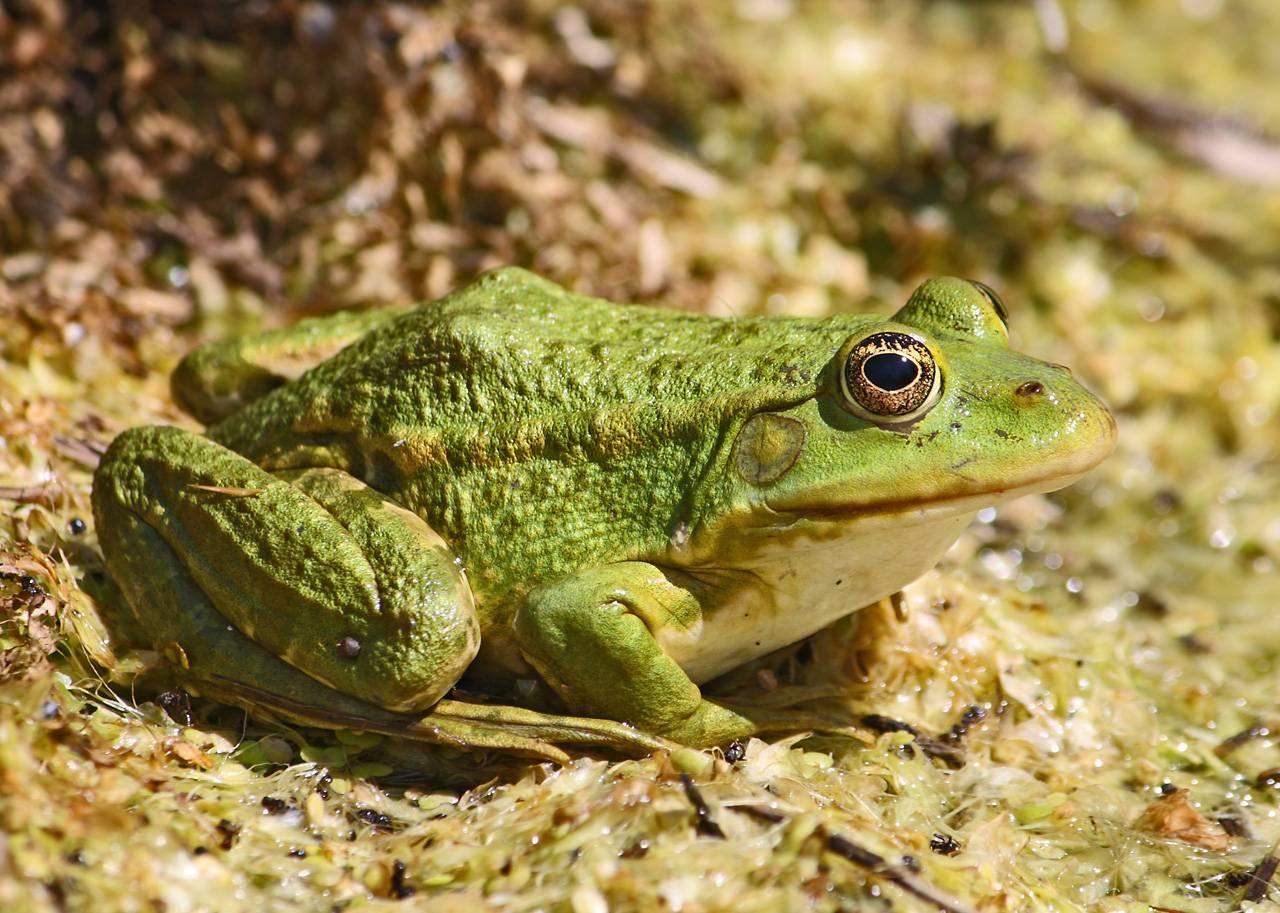 Лягушка - это животное или насекомое? отряд бесхвостых земноводных