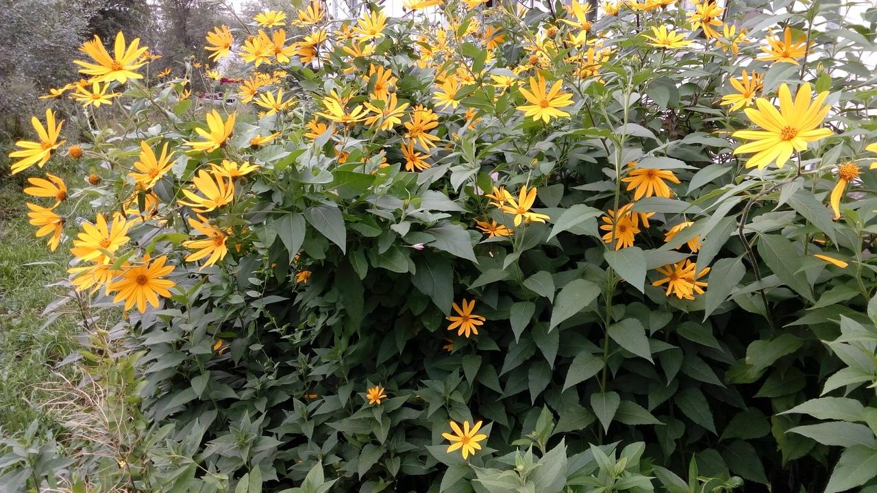Топинамбур: посадка и уход в открытом грунте, полезные свойства