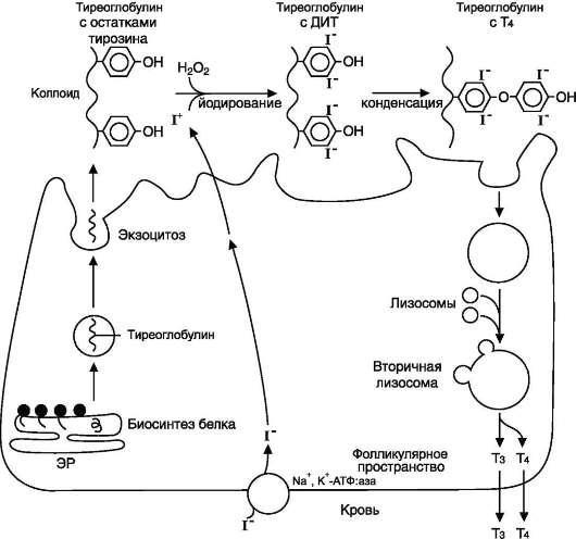 Тиреоглобулин: что это такое, норма и что значит, если тиреоглобулин повышен или понижен
