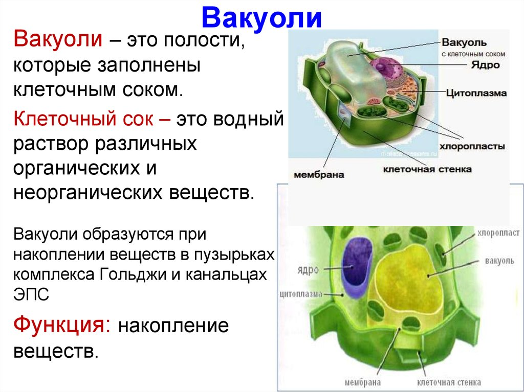 Вакуоль строение и функции - сайт по биологии