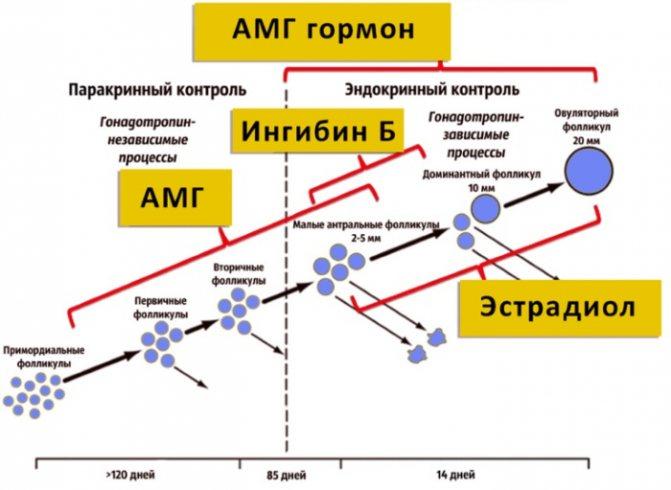 В каких случаях сдается анализ на антимюллеров гормон?