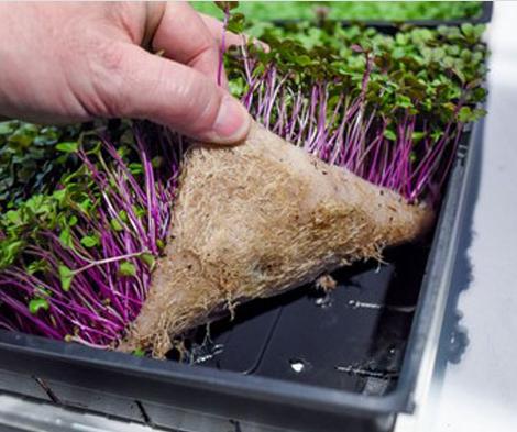Выращивание микрозелени в домашних условиях: как вырастить