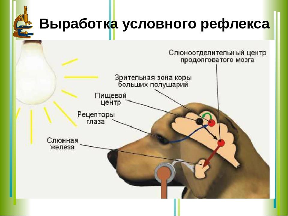Что такое эффект собаки павлова: в чем суть исследования рефлексов