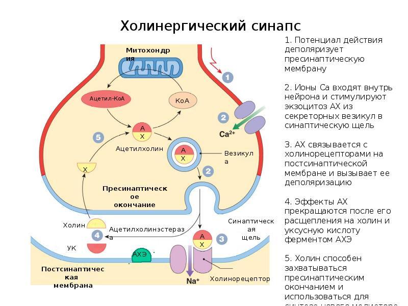 Ацетилхолин — википедия с видео // wiki 2