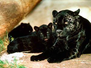 Рождение и смерть «чёрных пантер»